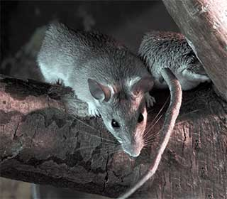 Rodent Proofing Your Home Is Important | Attic Cleaning Burbank, CA